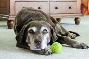 A májbetegség gyors kiszűrésére alkalmas vérvizsgálatot fejlesztettek ki kutyáknak