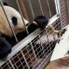 Festőnek állt a bécsi állatkert nőstény óriáspandája