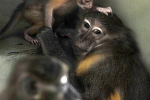 Ritka kismajmocska született a Fővárosi Állatkertben - nézd!