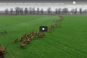 A drón késztette menekülésre a több százas szarvascsordát