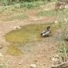Elpusztult  Trevor, a világ legmagányosabb kacsája