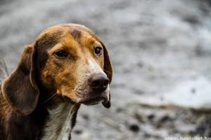 Többszáz állatfajra jelentenek súlyos fenyegetést a kóbor kutyák