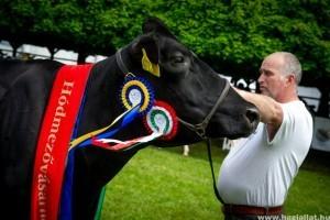 Göndör az ország legszebb tehene