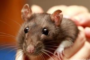 Csuklyás patkány: üldözöttből házikedvenc