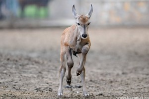 Jávorantilop született a debreceni állatkertben