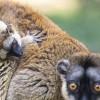 Sárgaszakállas maki született a Nyíregyházi Állatparkban