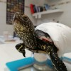 Kutyatámadás áldozata lett egy mocsári teknős, majd 8 tojás rakott