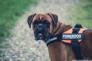Mit kell tudni a Cane Corso kutyafajtáról?