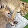 Veresegyházára költöztek a cirkuszi oroszlánok