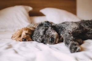 Az alvó kutyák agya úgy működik, mint a miénk