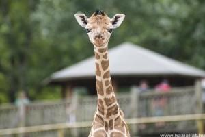 Bébibumm - Miskolcon leopárdkölyök, Nyíregyházán zsiráf született