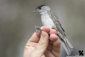 Ideiglenes madárgyűrűző állomás várja az érdeklődőket Budapesten